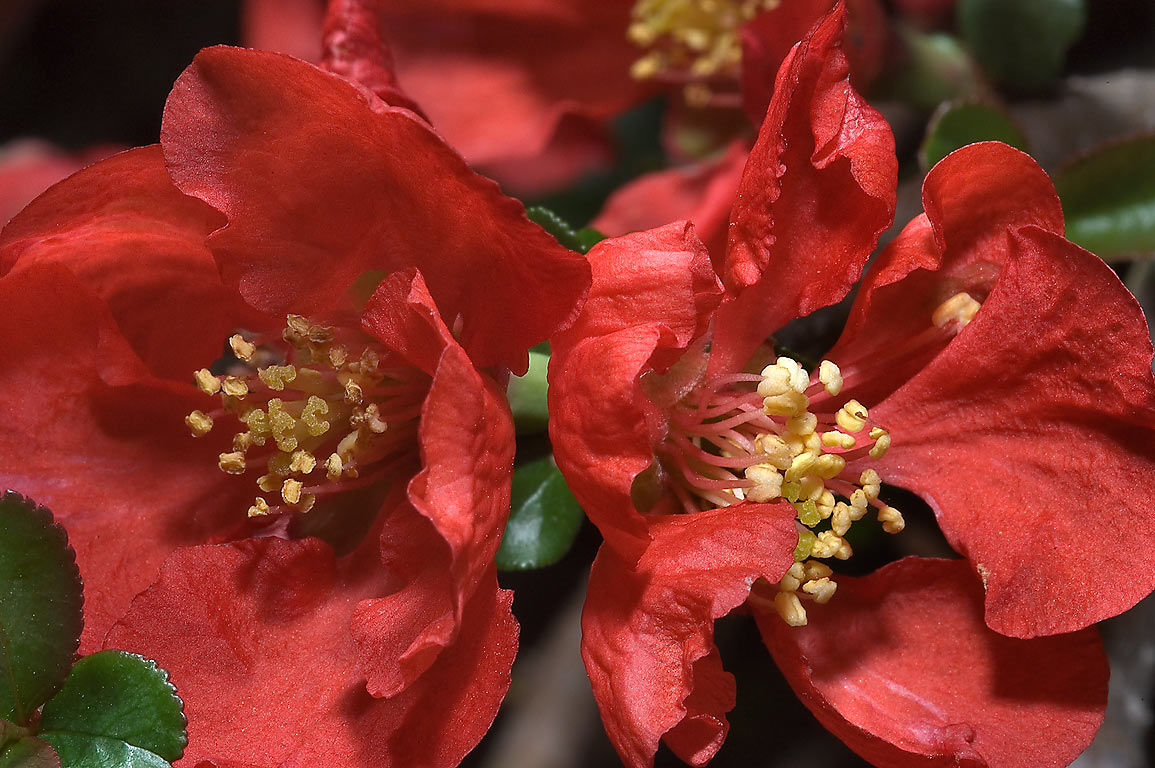 Flowering quince (Chaenomeles) in TAMU...M University. College Station, Texas