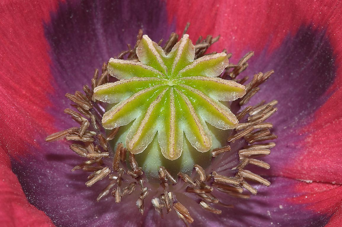 Ovary of poppy flower in TAMU Horticultural...A&M University. College Station, Texas