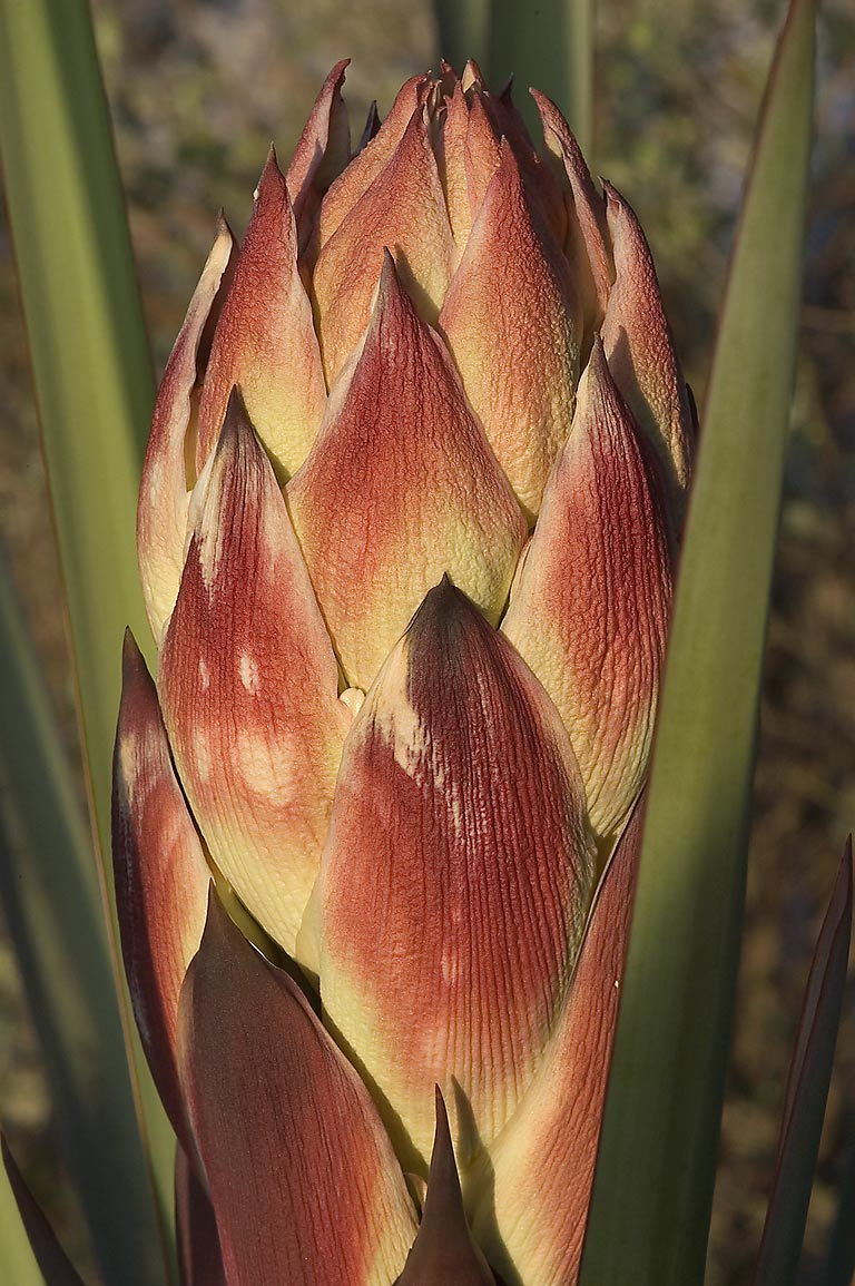 Flower bud of agave in TAMU Horticultural Gardens...A&M University. College Station, Texas