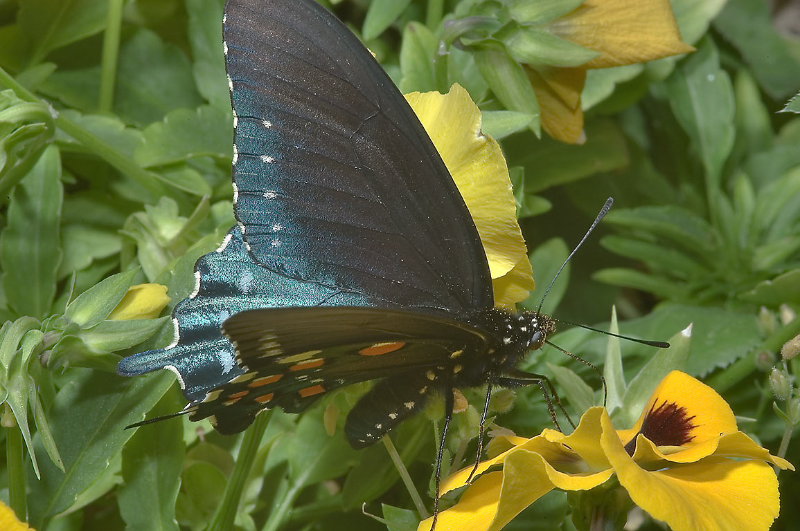Pipevine swallowtail (Battus philenor) butterfly...Rose Emporium. Independence, Texas