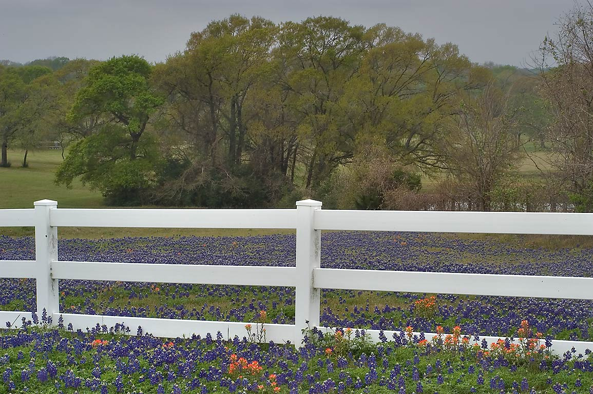 Field of bluebonnets behind a white fence on Rd...Penn) east from Independence. Texas