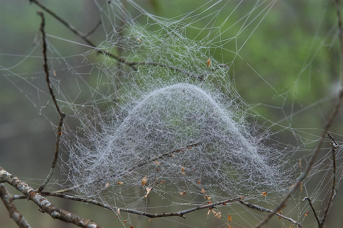 Dome shaped web of filmy dome spider (Prolinyphia...Creek Park. College Station, Texas