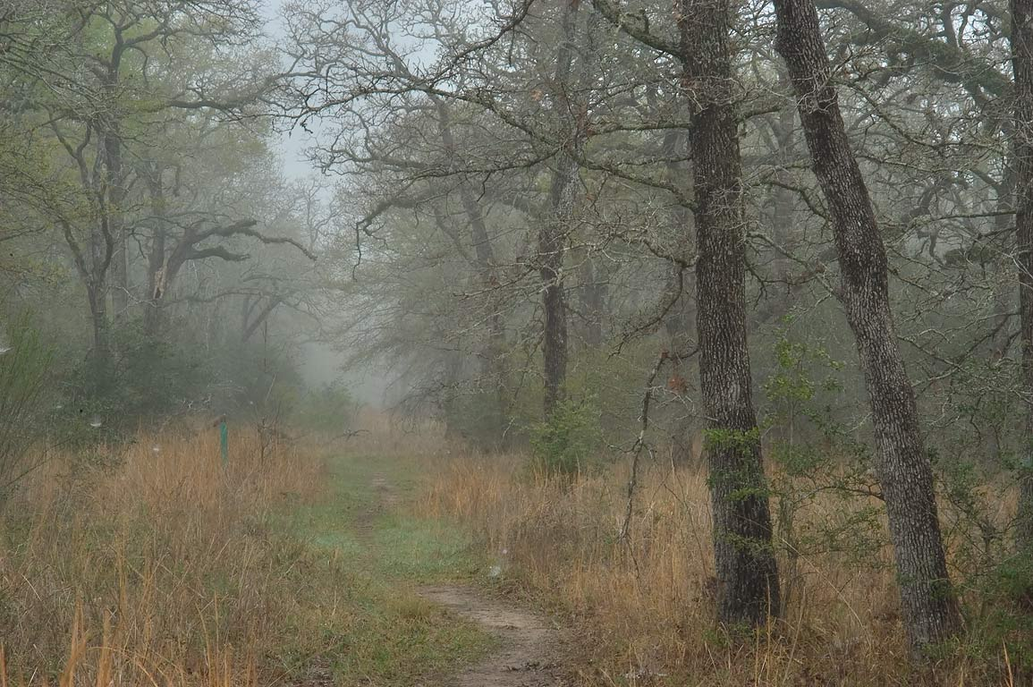 Sewage line right of way through oak forest in...Park, in fog. College Station, Texas
