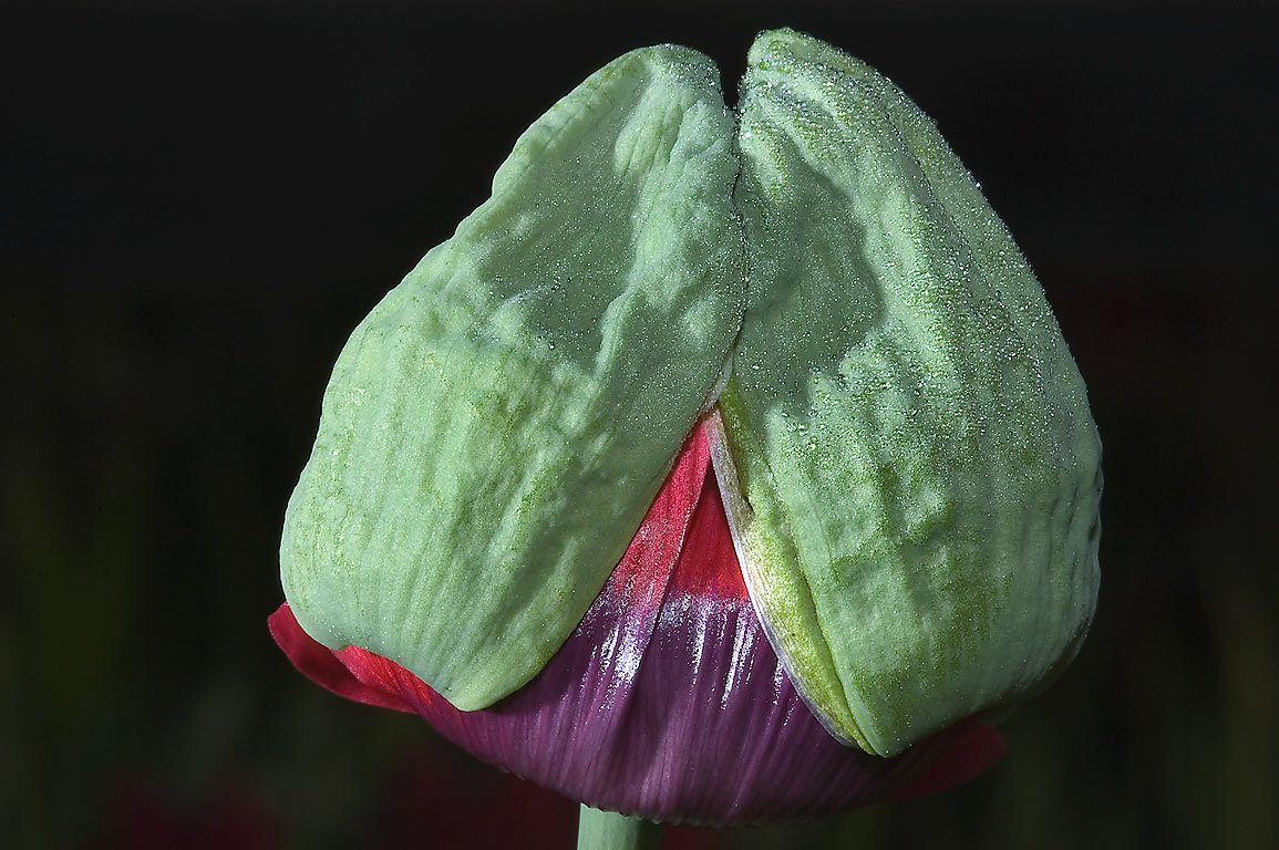 Flower bud of a red poppy in TAMU Horticultural...M University. College Station, Texas