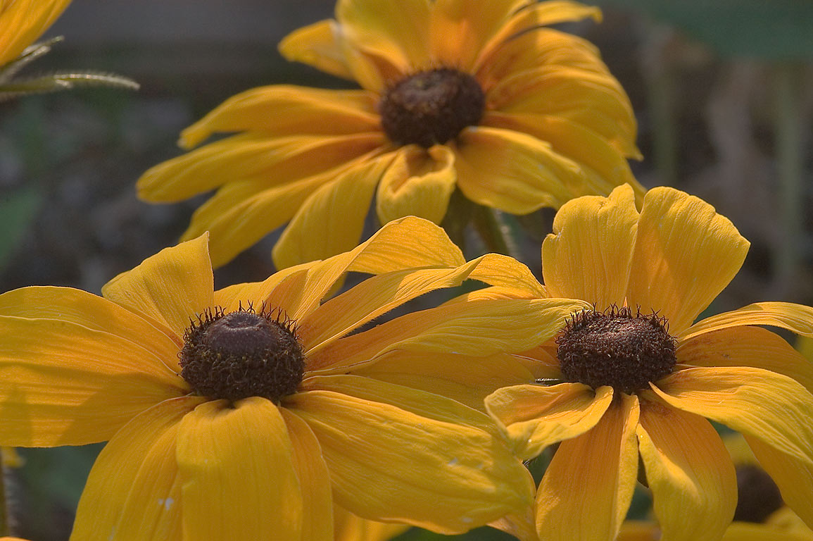 Large rudbeckia flowers in TAMU Holistic Garden...M University. College Station, Texas