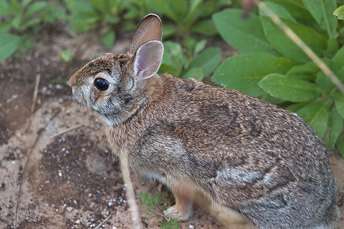 Eastern cottontail rabbit (Sylvilagus floridanus...M University. College Station, Texas