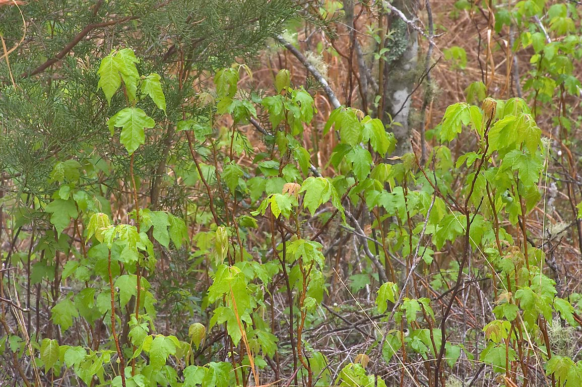 Poison ivy near Old Washington Town Site Loop...State Historic Site. Washington, Texas
