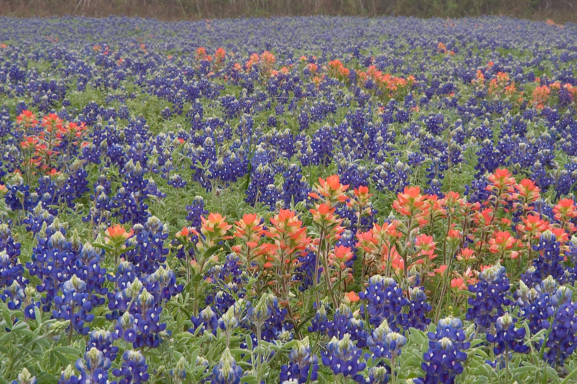 Field of bluebonnets and paintbrush flowers at...State Historic Site. Washington, Texas