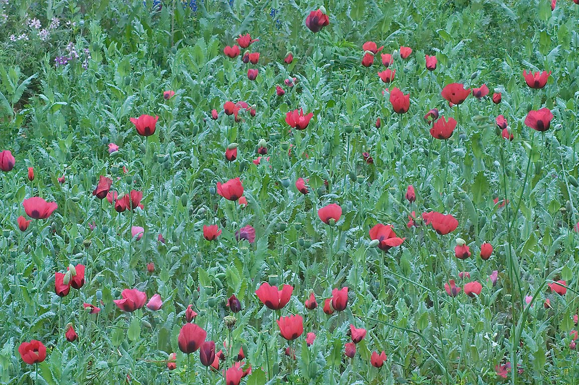 Red poppies in TAMU Holistic Garden in Texas A&M University. College Station, Texas