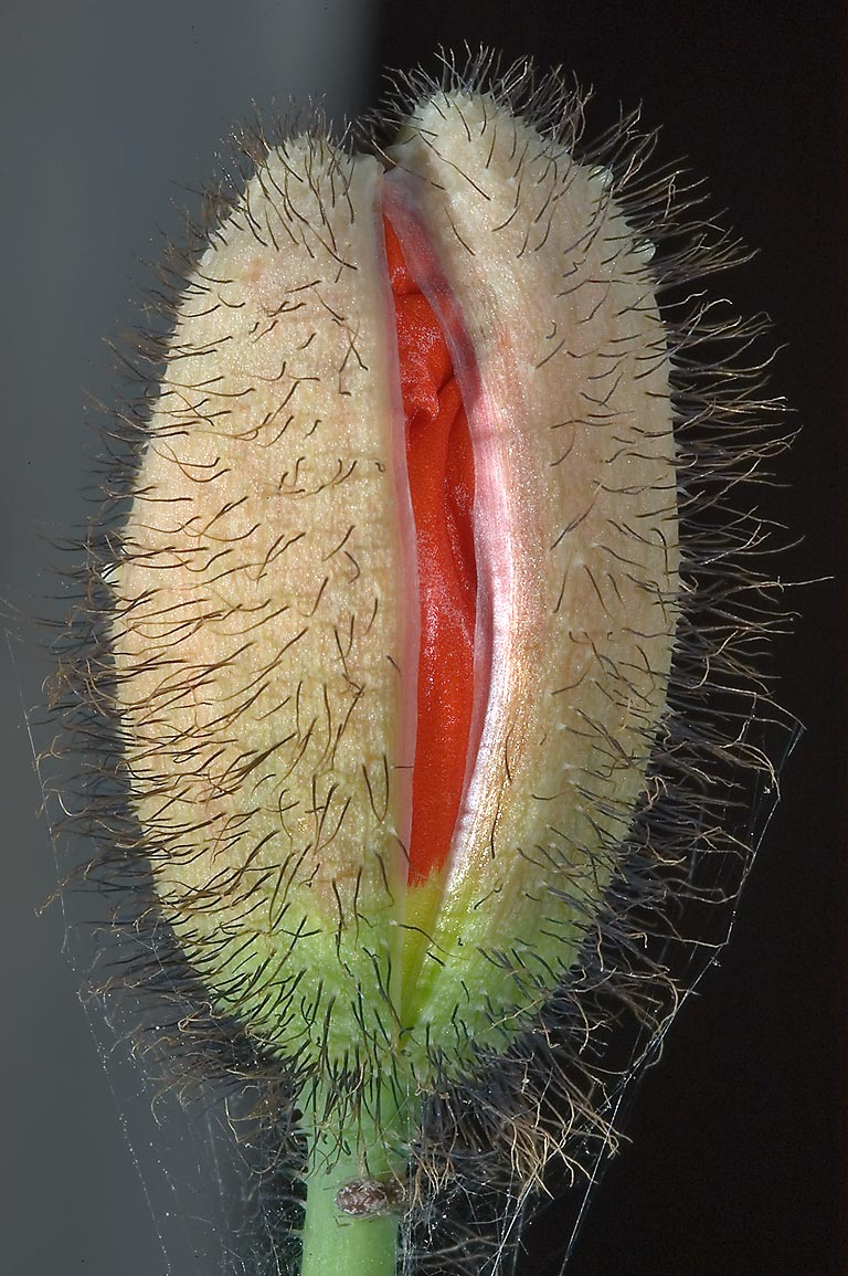 Hairy flower bud of poppy in TAMU Holistic Garden...M University. College Station, Texas