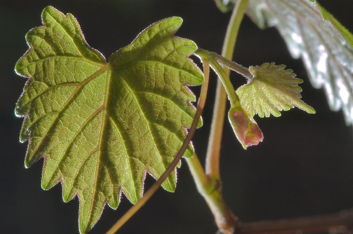 Shoot of muscadine grape on Little Lake Creek...National Forest. Richards, Texas
