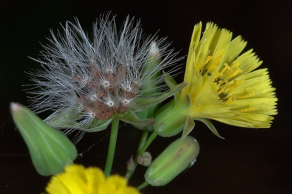 Oriental false hawksbeard (Youngia japonica...Gardens. Humble (Houston area), Texas