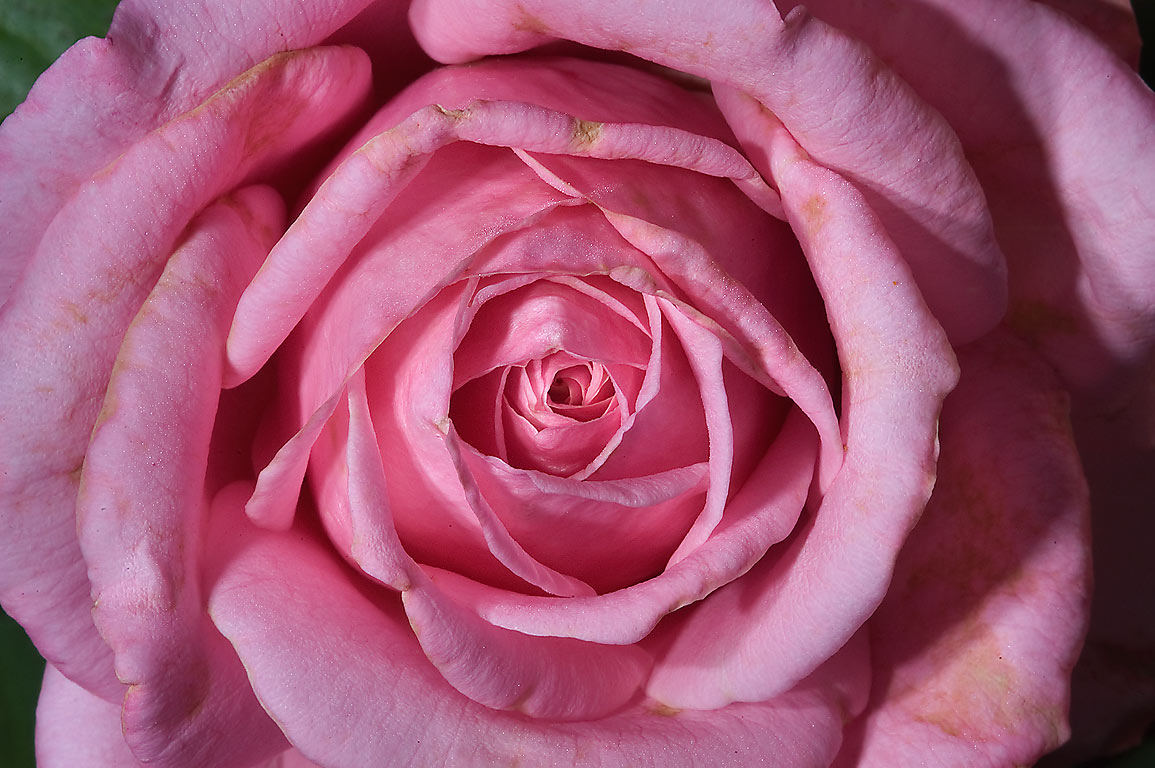 Pink rose in TAMU Horticultural Gardens in Texas...M University. College Station, Texas