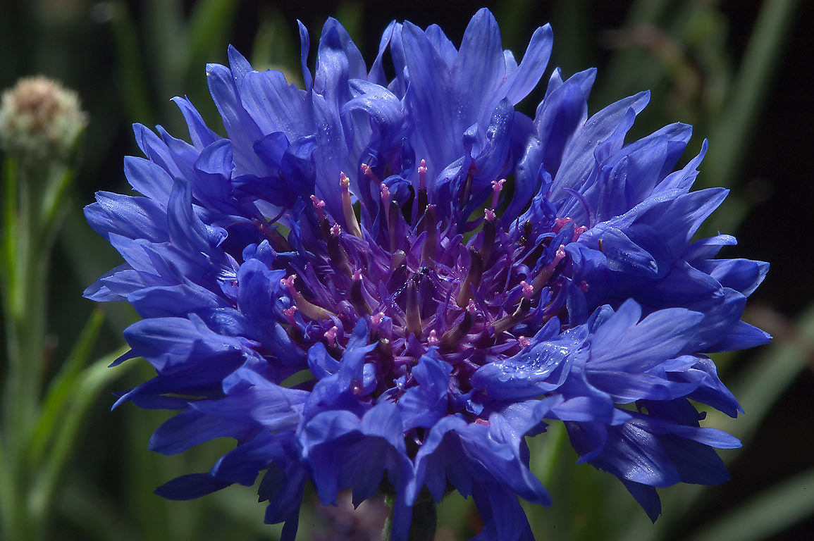 Cornflower (Centaurea cyanus) in TAMU...M University. College Station, Texas
