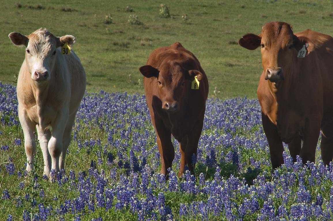 Cows standing in a field of bluebonnets near Rd. 390, near Independence. Texas