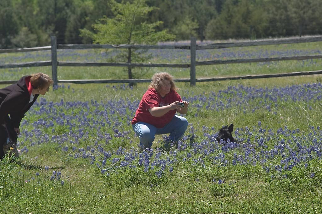 Taking pictures of a pet dog in bluebonnets in Antique Rose Emporium. Independence, Texas