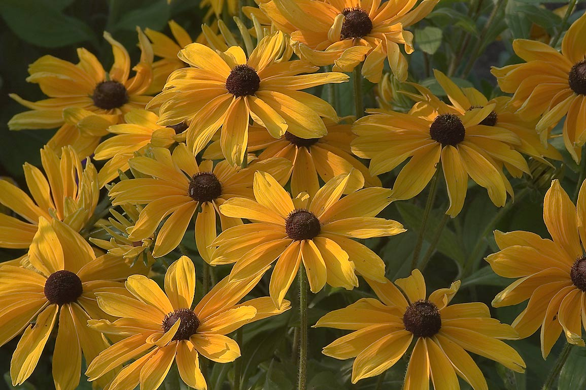 Yellow flowers of Rudbeckia in TAMU Holistic...M University. College Station, Texas