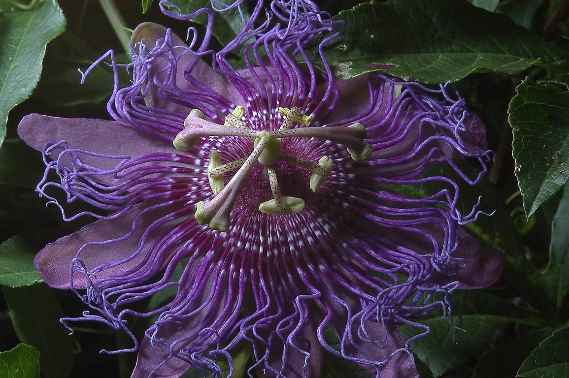 Blue passion flower (passiflora) in TAMU Holistic...M University. College Station, Texas