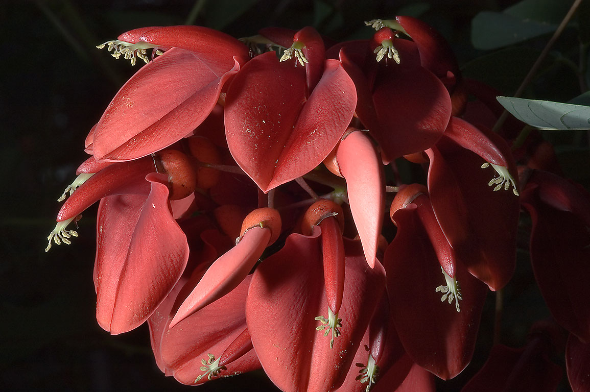 Red flowers of Coral bean (Erythrina herbacea) in...Gardens. Humble (Houston area), Texas