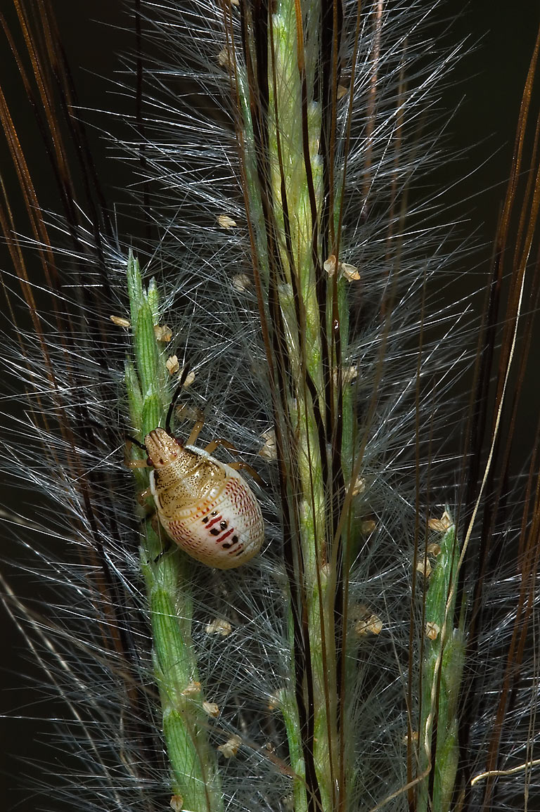 Rice stink bug nymph (Oebalus pugnax) on bluestem...Falls State Park near Austin. Texas