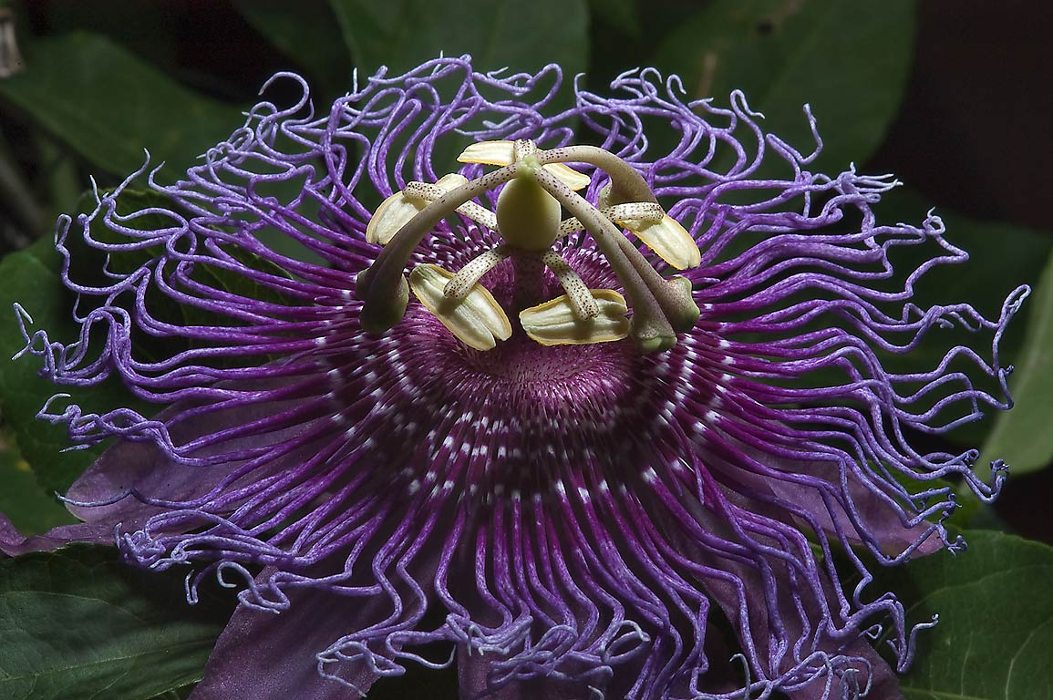 Purple passiflora (passion flower) in TAMU...M University. College Station, Texas