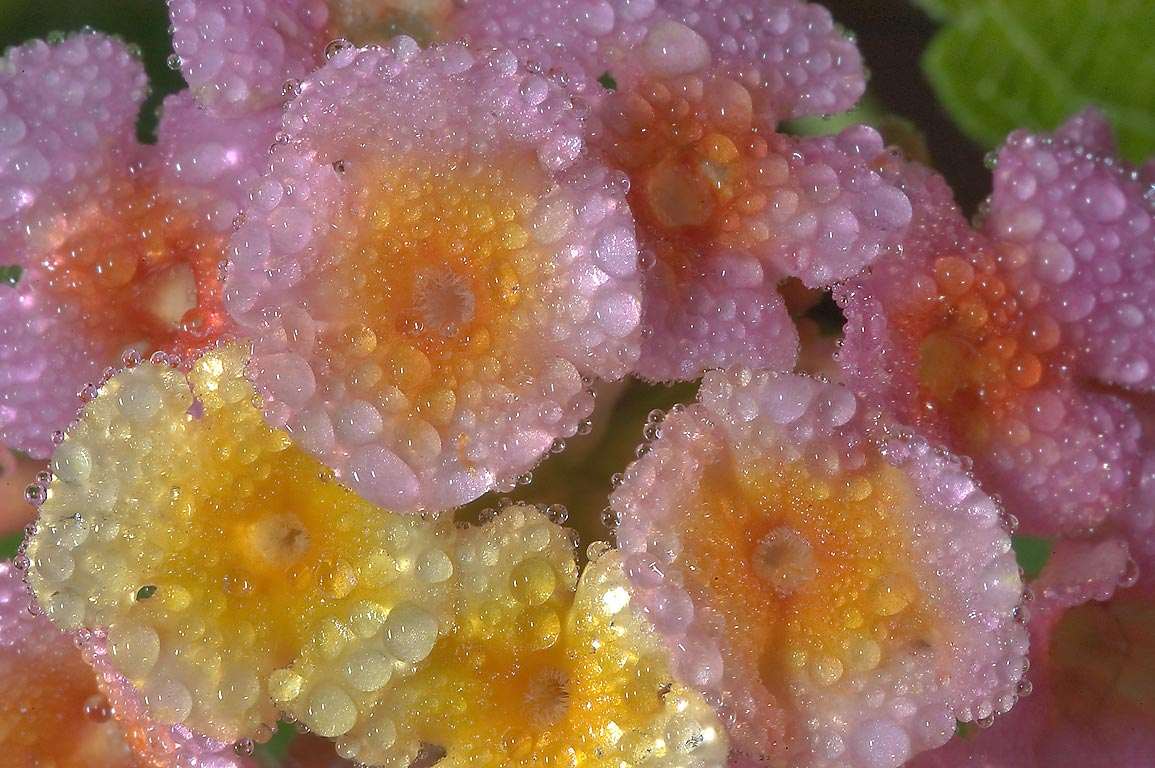 Blooming lantana in dew in TAMU Horticultural...M University. College Station, Texas
