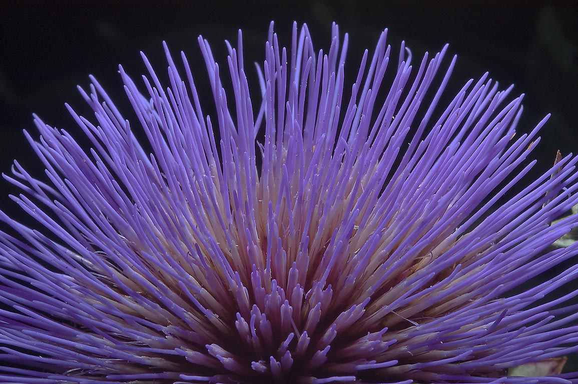Side view of artichoke flower (Cynara cardunculus...M University. College Station, Texas