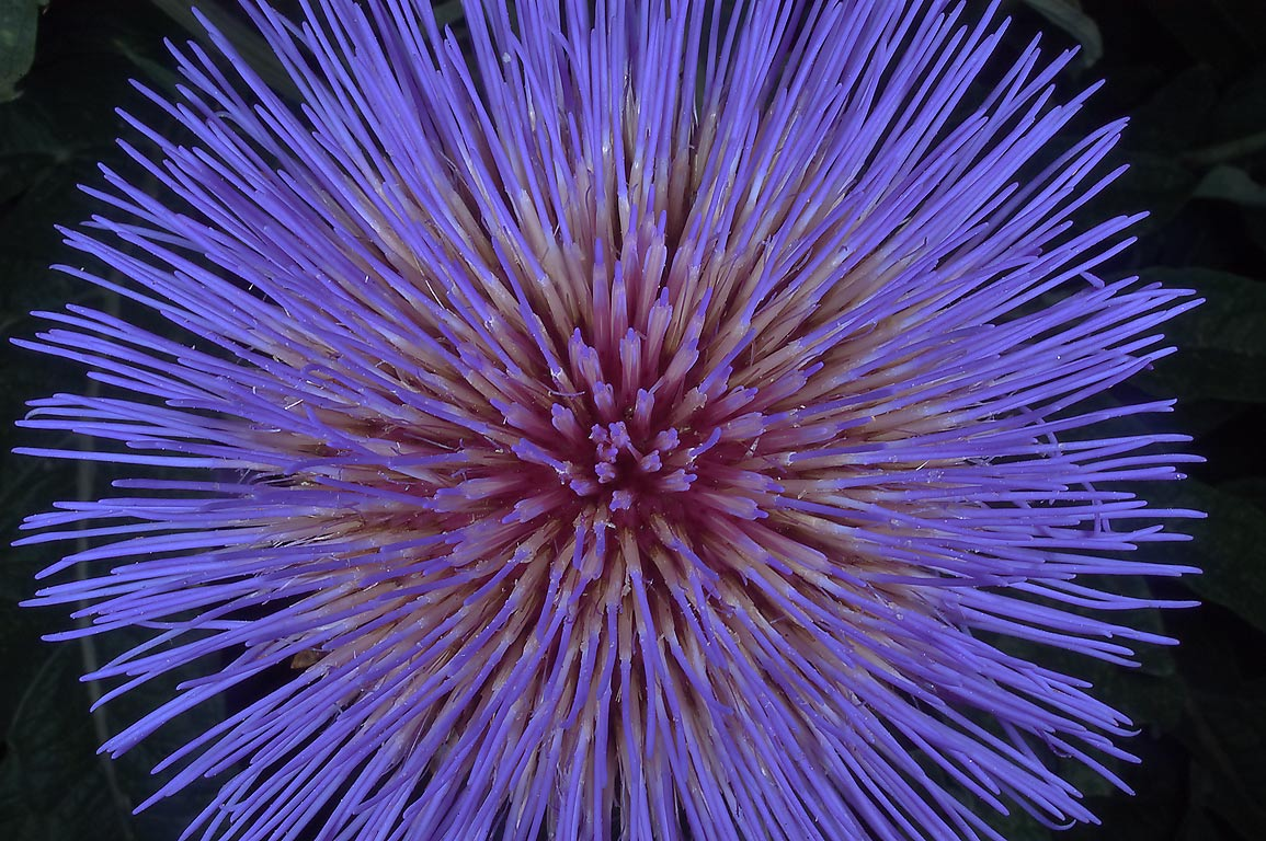 Top view of a big artichoke flower (Cynara...M University. College Station, Texas