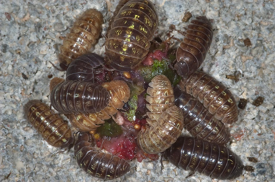 Pill bugs eating tender tissue of strawberry in...M University. College Station, Texas