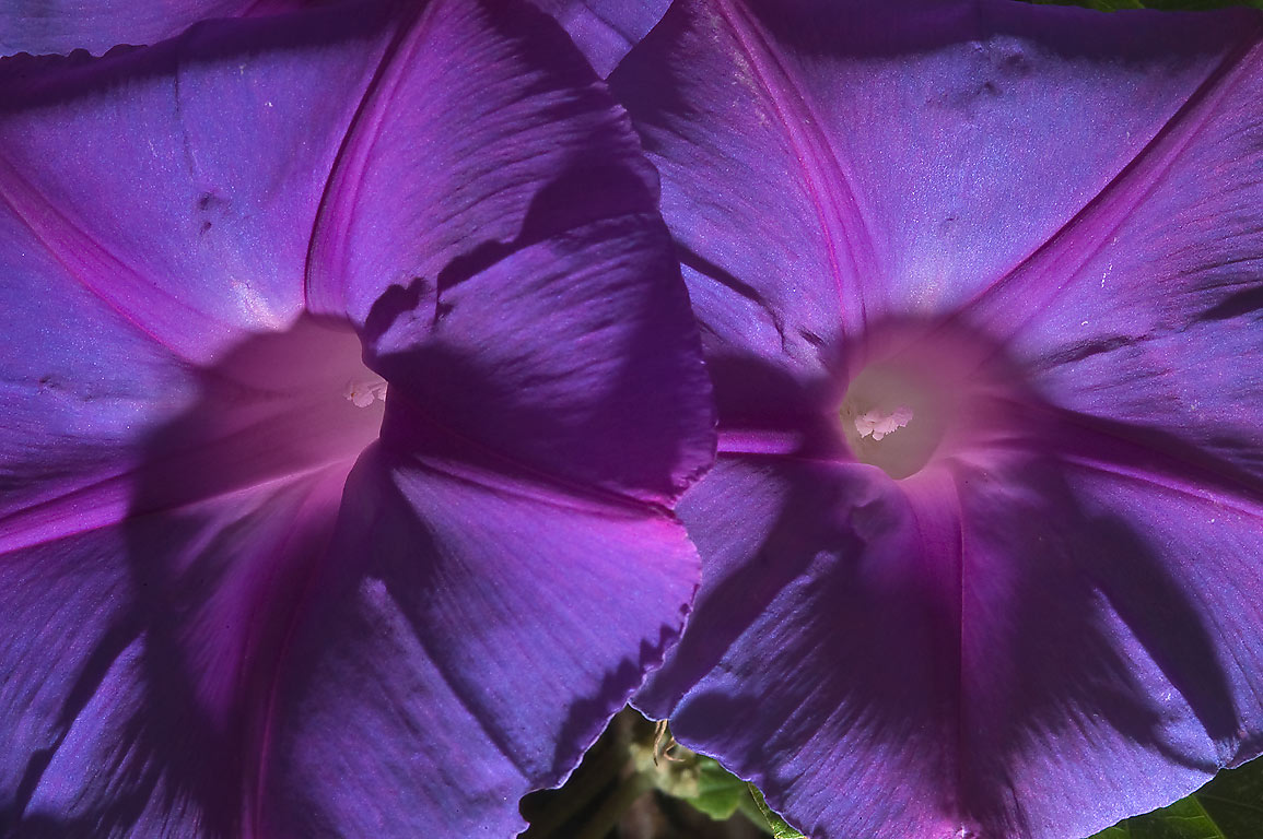 Back lit flowers of Blue morning glory (Ipomoea...M University. College Station, Texas