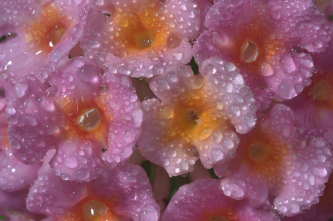 Blooming lantana with water drops in TAMU...M University. College Station, Texas