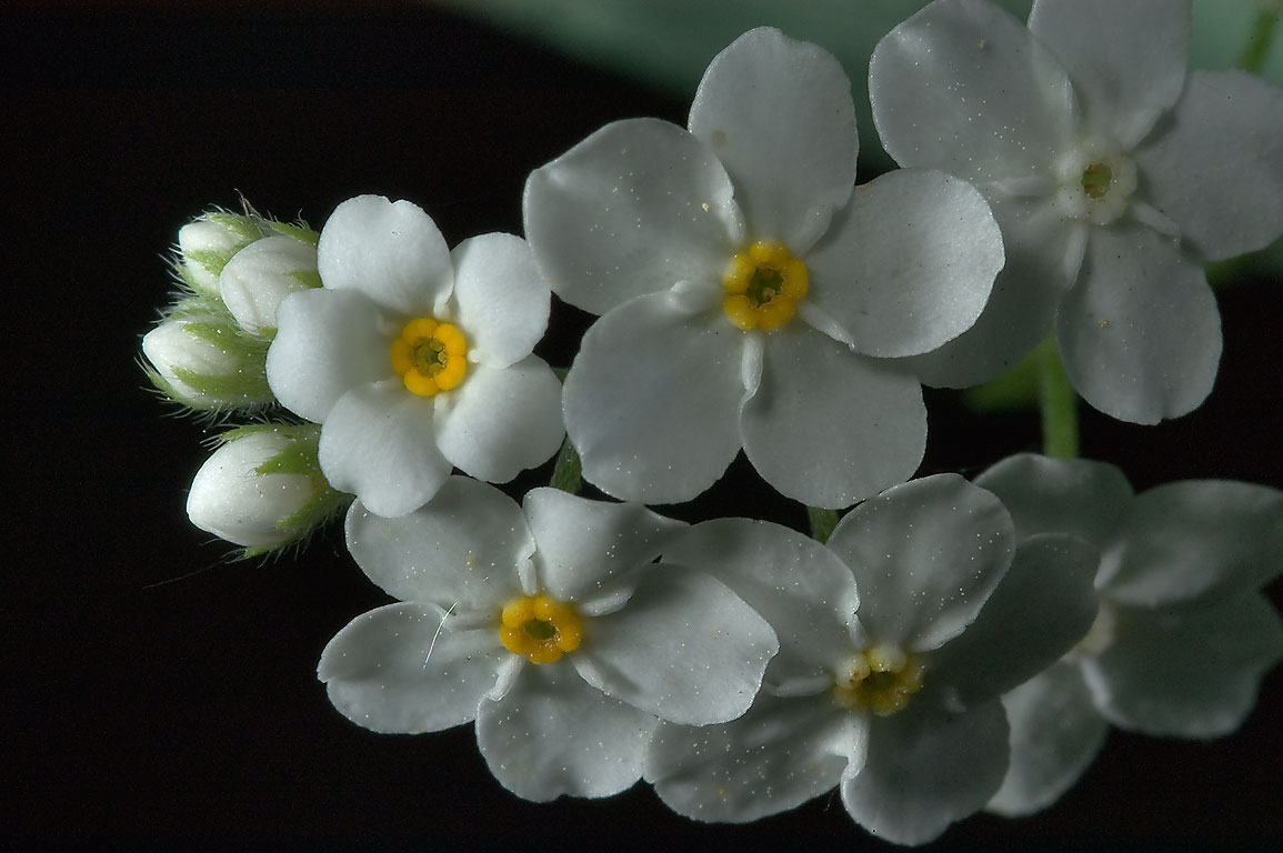 White phenotype of forget-me-not flowers in...miles south from St.Petersburg. Russia