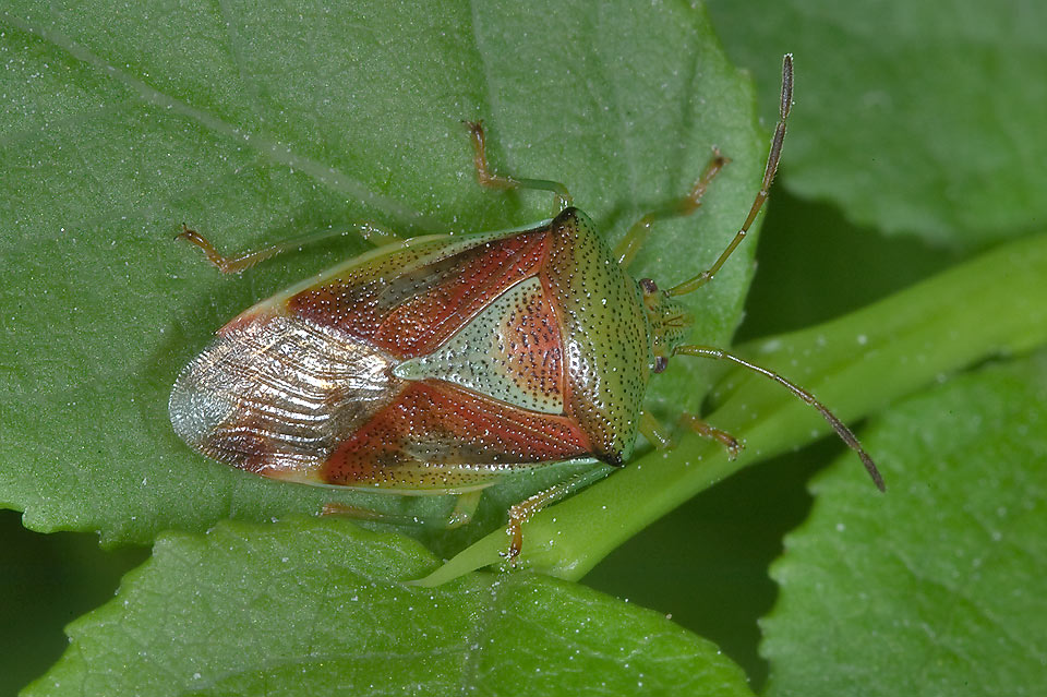 Red-cross shield bug (Elasmostethus) in Monrepo Park. Vyborg, Russia