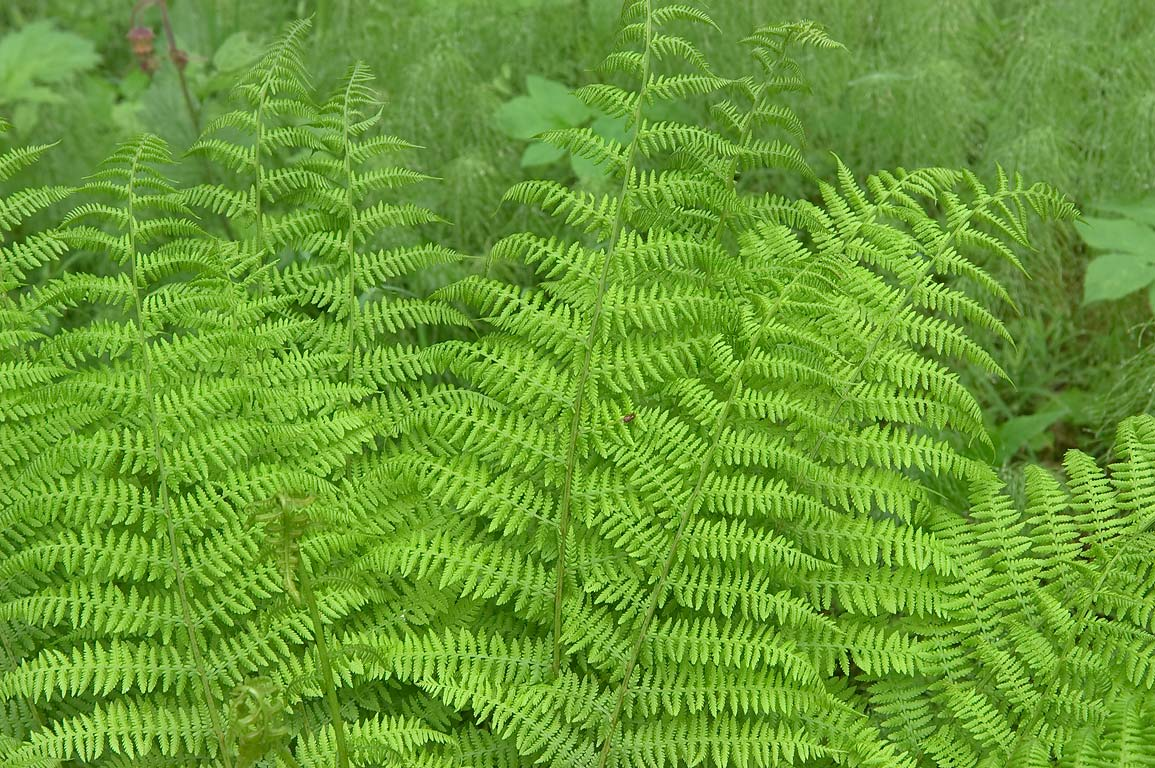 Ferns (Dryopteris filix-mas) in area of Novaya...a suburb of St.Petersburg, Russia