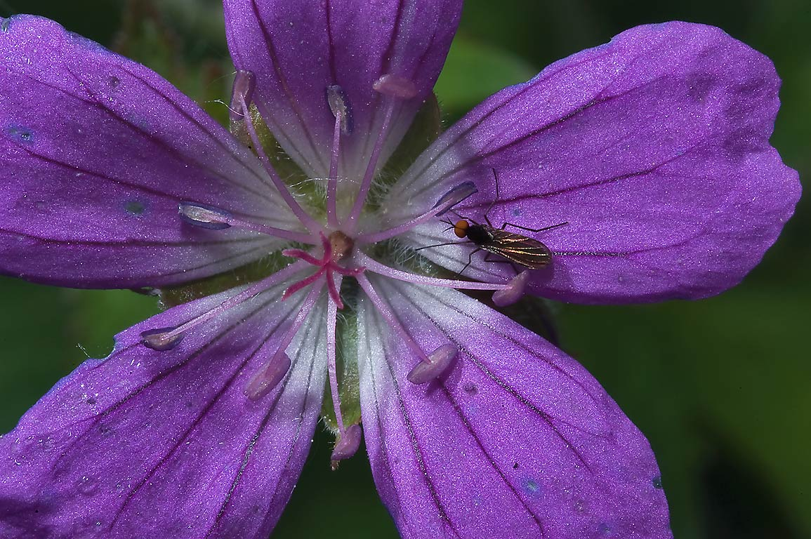 Close up of Wood cranesbill (Geranium sylvaticum...south from St.Petersburg. Russia