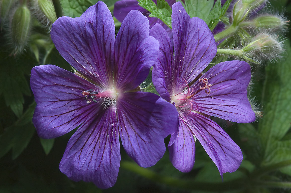 Geranium flowers in Botanic Gardens of Komarov Botanical Institute. St.Petersburg, Russia