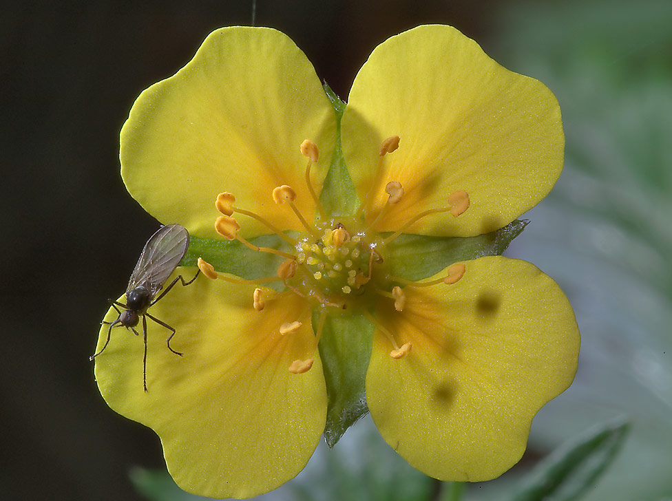 Intermediate Cinquefoil (Potentilla intermedia...miles north from St.Petersburg, Russia