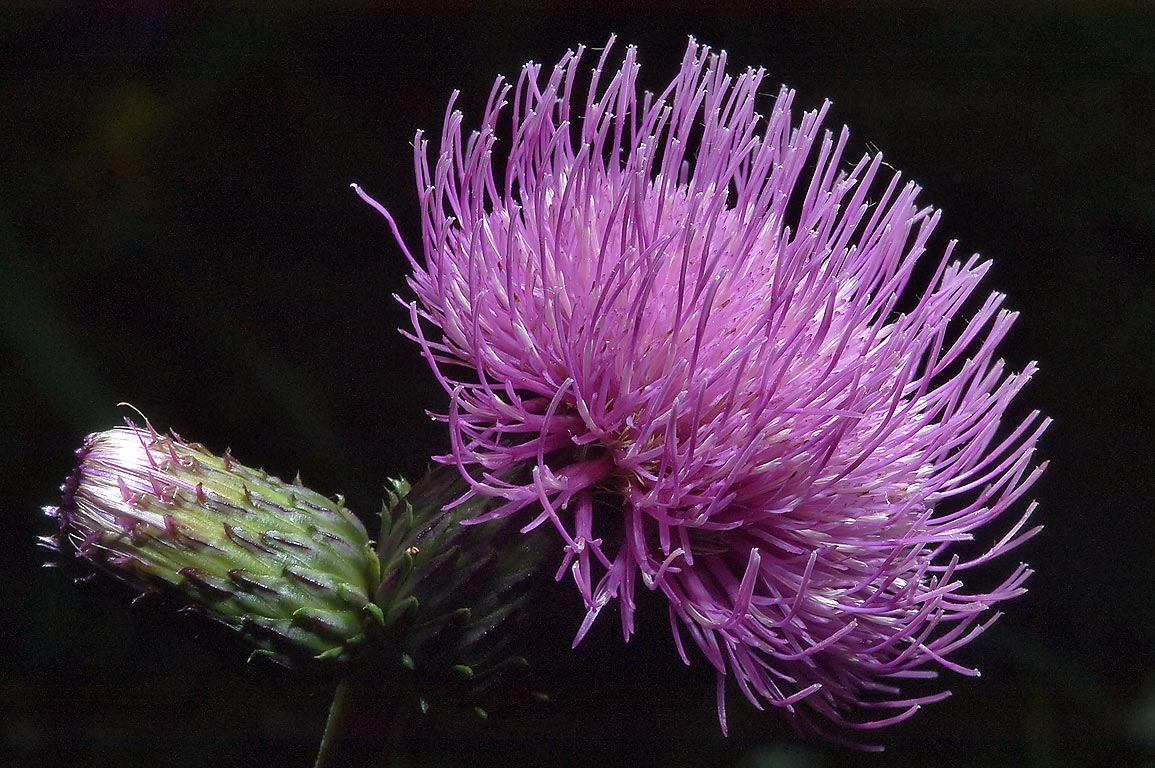 Field thistle (Cirsium) east from Toksovo, 10 miles north from St.Petersburg. Russia