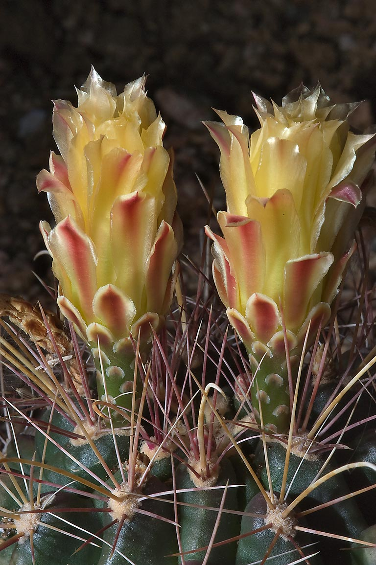 Blooming cacti in TAMU Horticultural Gardens in...M University. College Station, Texas