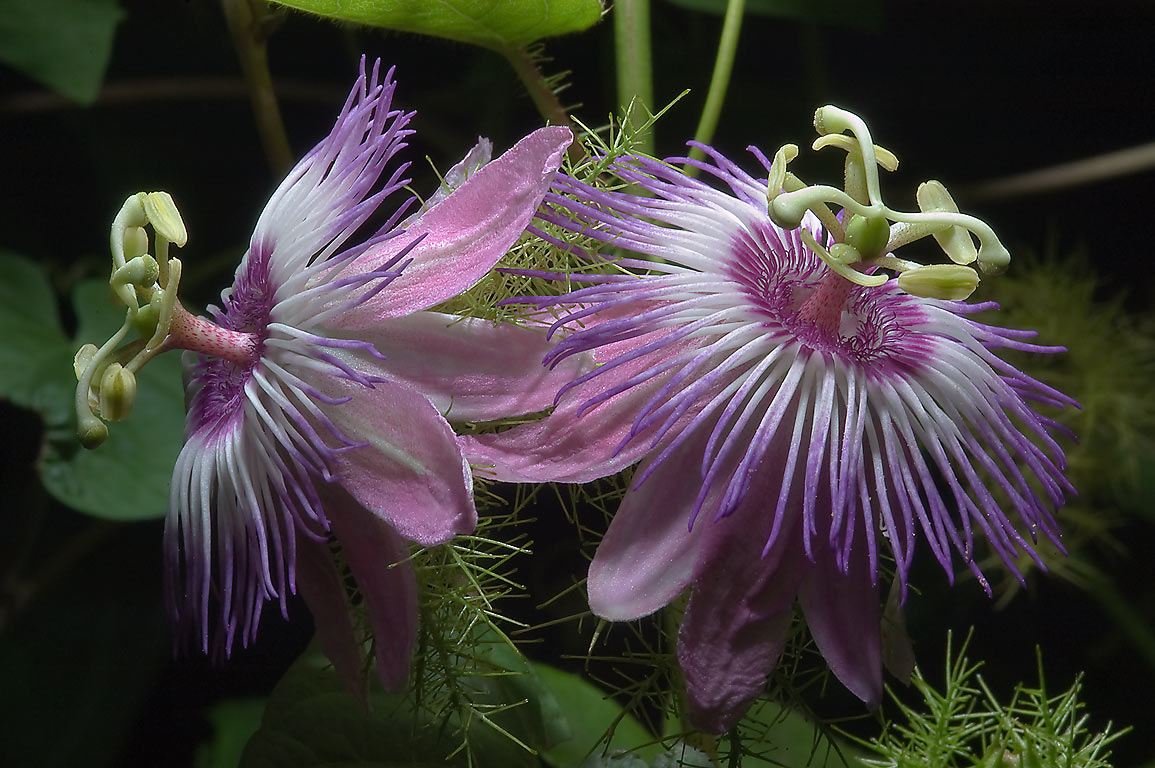 Passion flowers (passiflora) in TAMU Holistic...M University. College Station, Texas