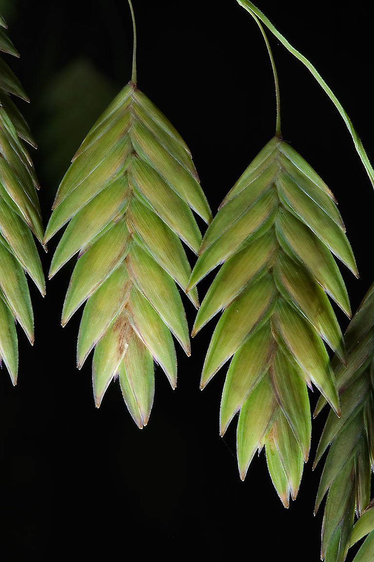 Flat spikelets of Indian woodoats (inland sea...M University. College Station, Texas