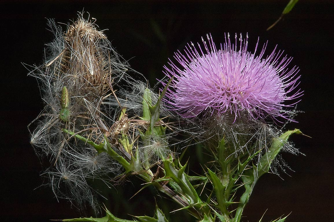 Thistle with seeds and a green lynx spider in Lick Creek Park. College Station, Texas