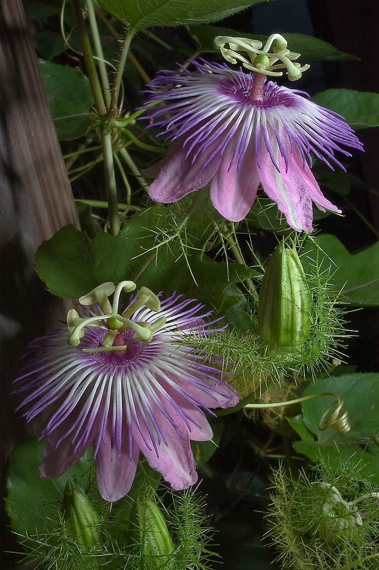 Passion flowers (passiflora) on arbor in TAMU...M University. College Station, Texas