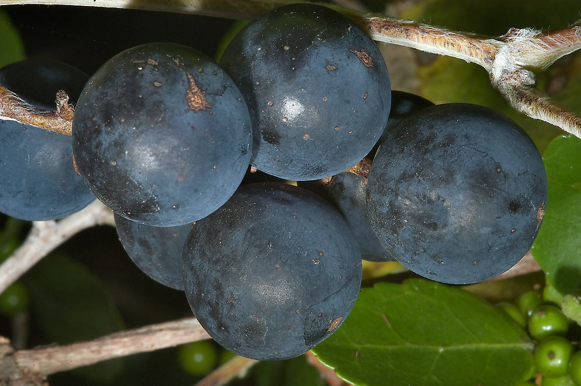 Ripe blue berries of muscadine grape in...State Historic Site. Washington, Texas