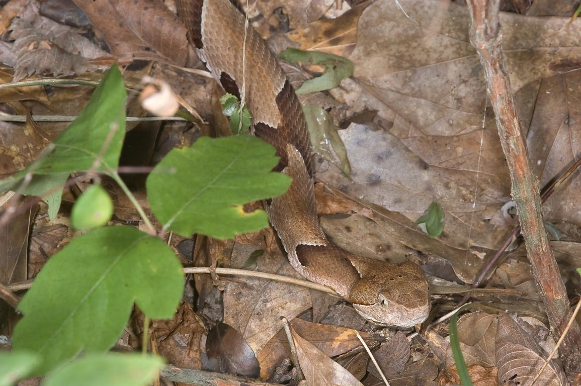 Copperhead snake on Racoon Run Trail in Lick Creek Park. College Station, Texas