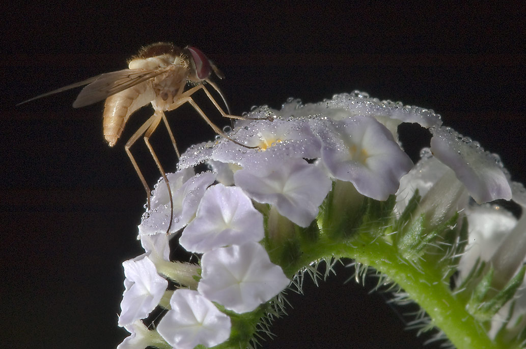Fly sitting on inflorescence of Turnsole...State Historic Site. Washington, Texas