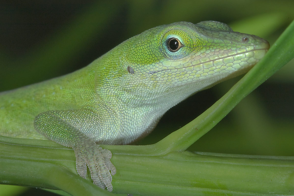 Small green anole lizard (Anolis carolinensis) on...Gardens. Humble (Houston area), Texas