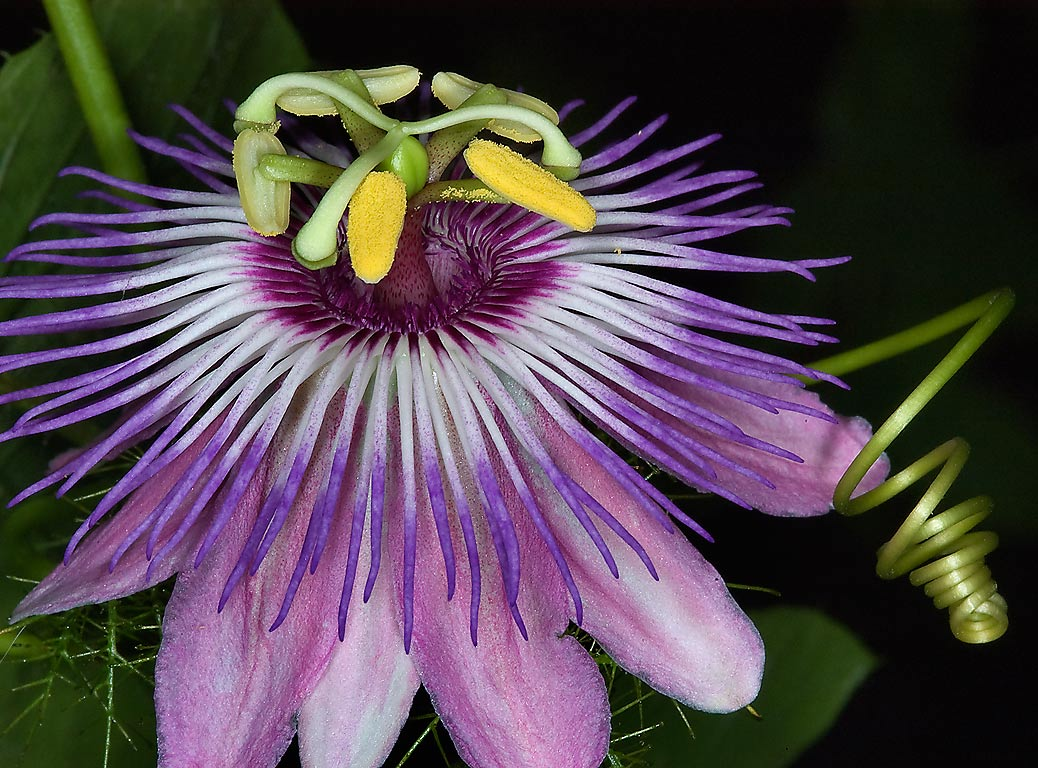 Passion flower with a tendril in TAMU Holistic...M University. College Station, Texas