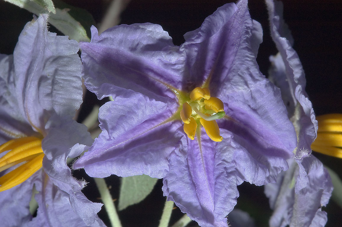 Silver-leaf nightshade (Solanum elaeagnifolium...M University. College Station, Texas
