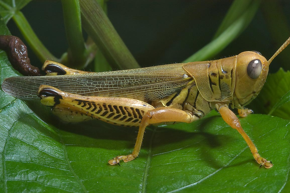 Differential grasshopper (Melanoplus...Rose Emporium. Independence, Texas